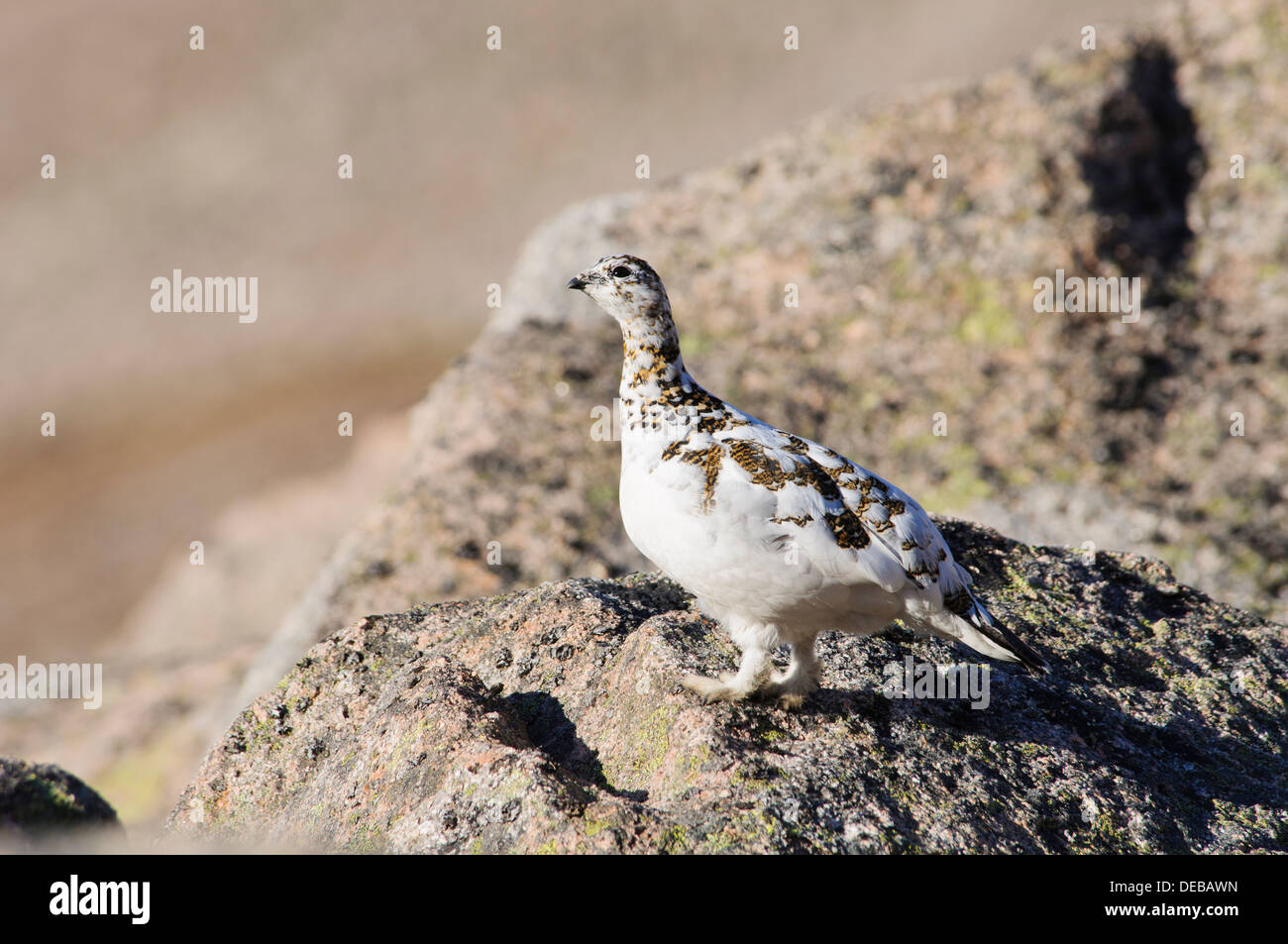 A female ptarmigan (Lagopus mutus) standing on bare rocks near the summit of Cairn Gorm, in the Cairngorms National Park - Stock Image