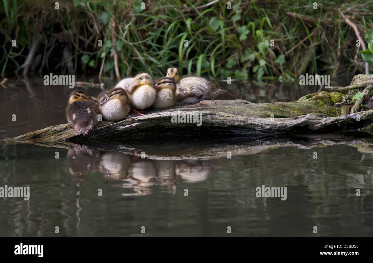Mallard Ducklings resting on a log. - Stock Image