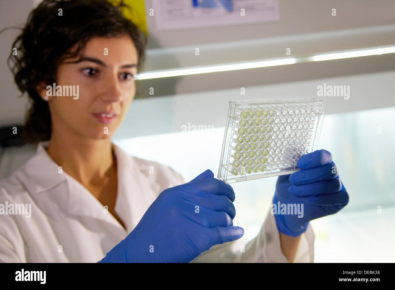 Cytotoxicity studies  Multiwell plate observation of the evaluation of the toxicity of compounds in cell lines, Cell Culture - Stock Image