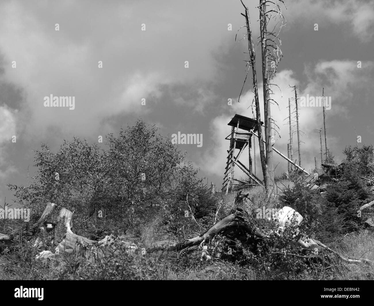 tree stand between natural wood regeneration after forest decline in Bavarian Forest, Zwercheck, between Osser and Arber - Stock Image