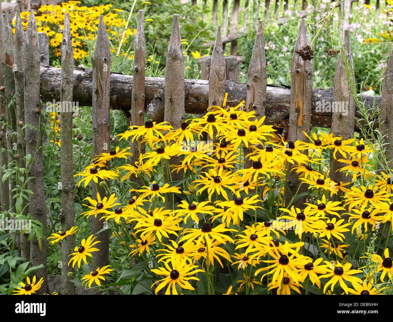 garden with orange coneflowers and wooden fence / Garten mit Gewöhnlichem Sonnenhut und Holzzaun - Stock Image