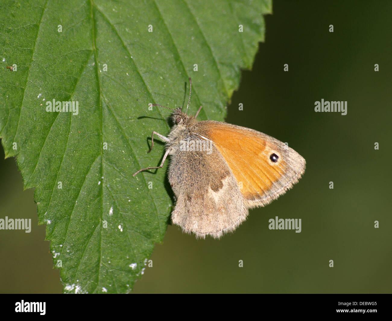 Small heath / Coenonympha pamphilus / Kleiner Heufalter, Kleines Wiesenvögelchen - Stock Image