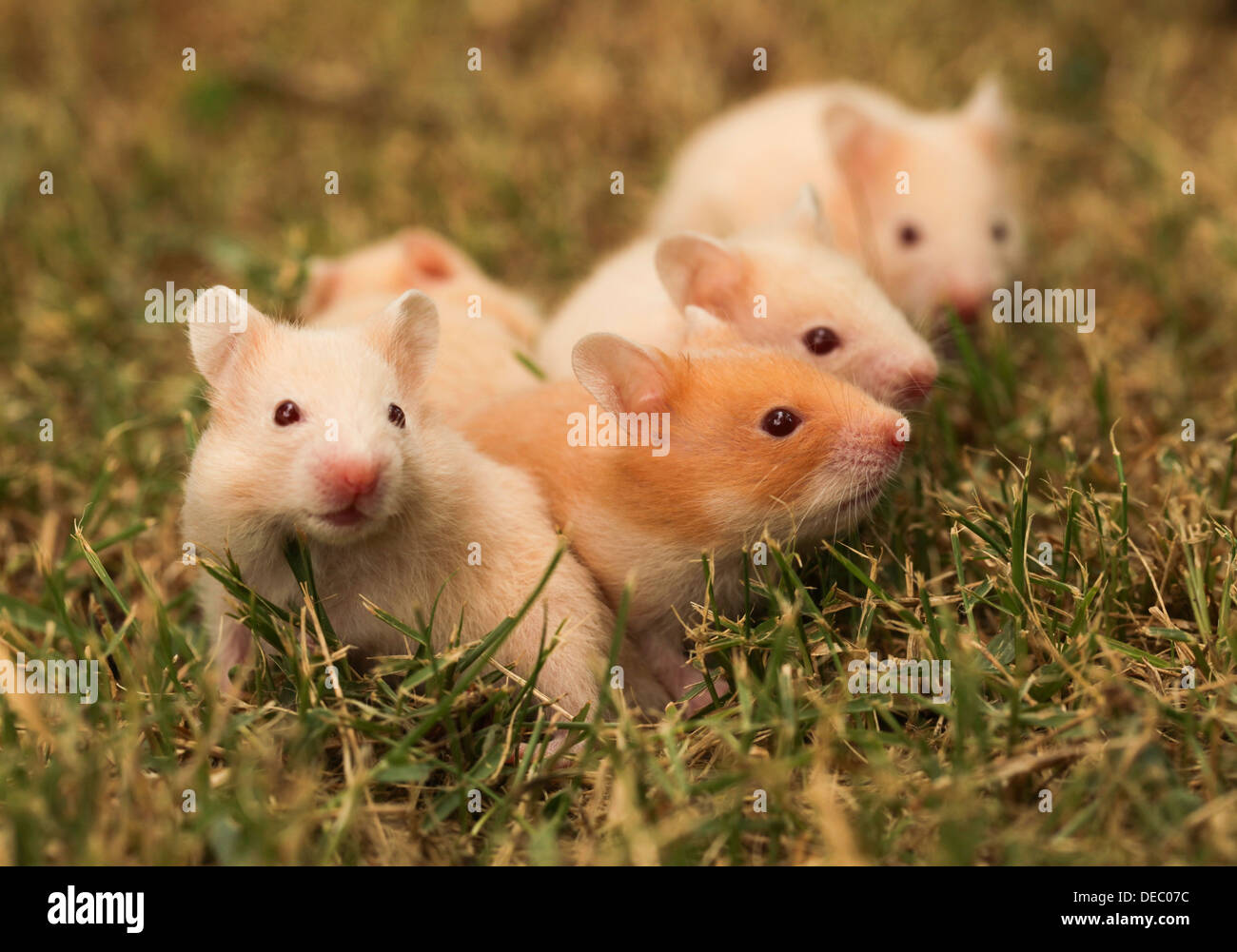 golden hamster or Syrian hamster, (Mesocricetus auratus) with her young litter on the lawn - Stock Image