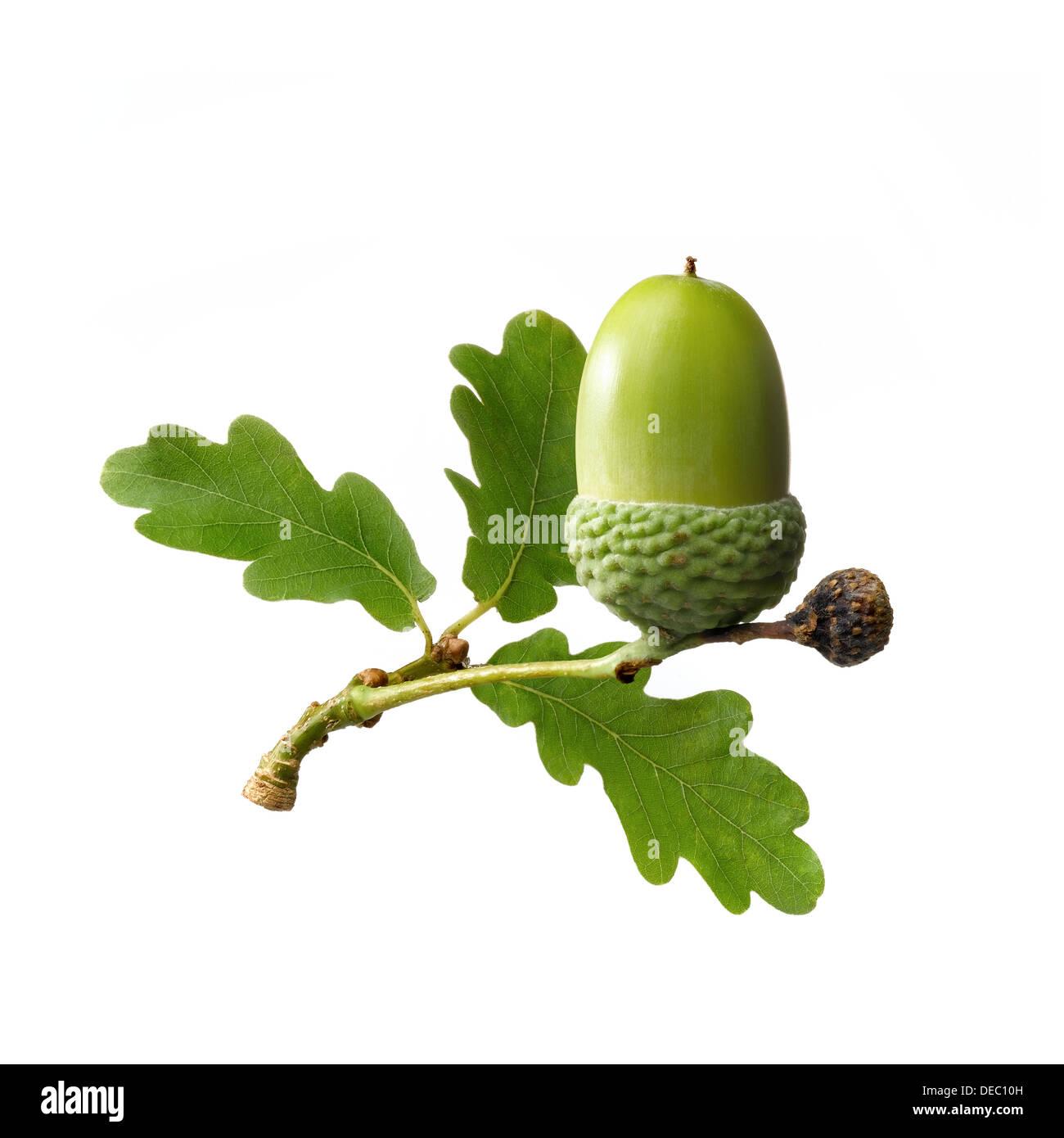 acorn - Stock Image