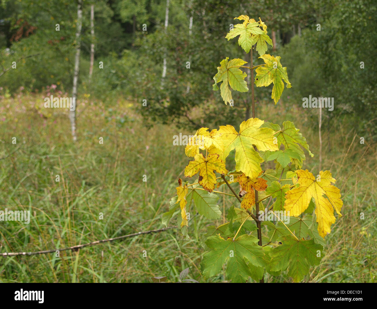 sycamore maple in autumn colors / Acer pseudoplatanus / Bergahorn in Herbstfarben Stock Photo