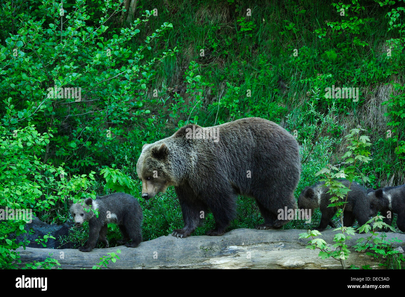 Brown Bear (Ursus arctos) exploring with its cubs, Langenberg Zoo, Adliswil, Canton of Zurich, Switzerland - Stock Image