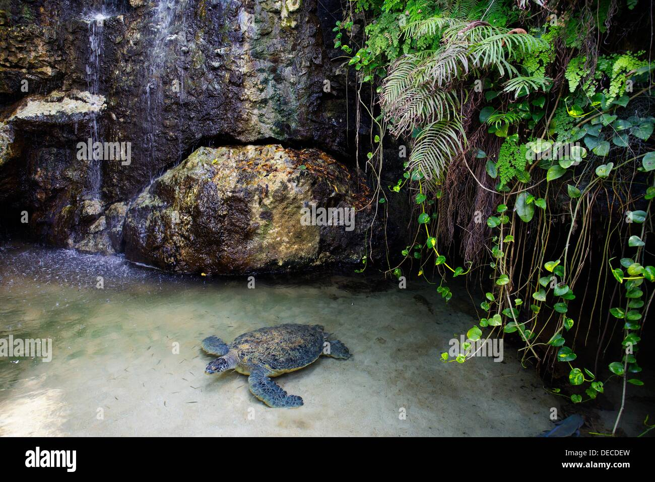 Turtle at the hotel Grand Lido Sans Souci, Jamaica, West Indies, Caribbean, Central America. - Stock Image
