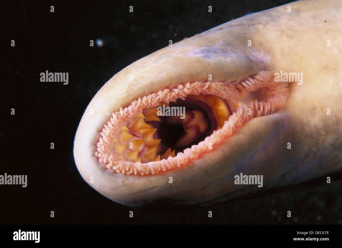 Sea Lamprey Petromyzon Marinus Stock Photos  for sea lamprey mouth  56bof