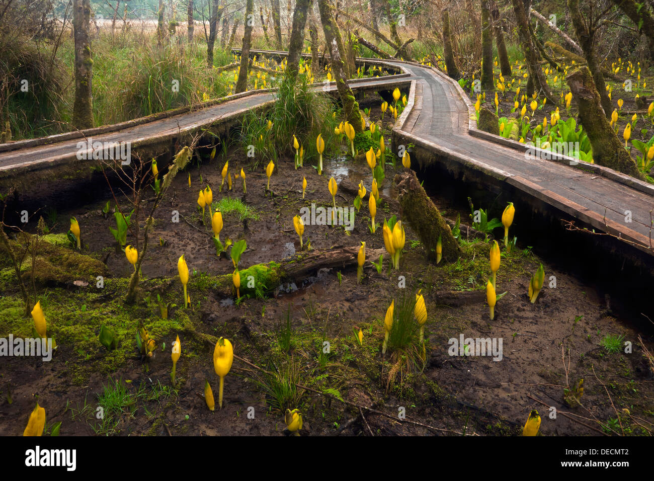 Boardwalk through a sunk cabbage covered marsh along the Hidden Creek Trail in the South Slough National Estuarine Reserve. - Stock Image