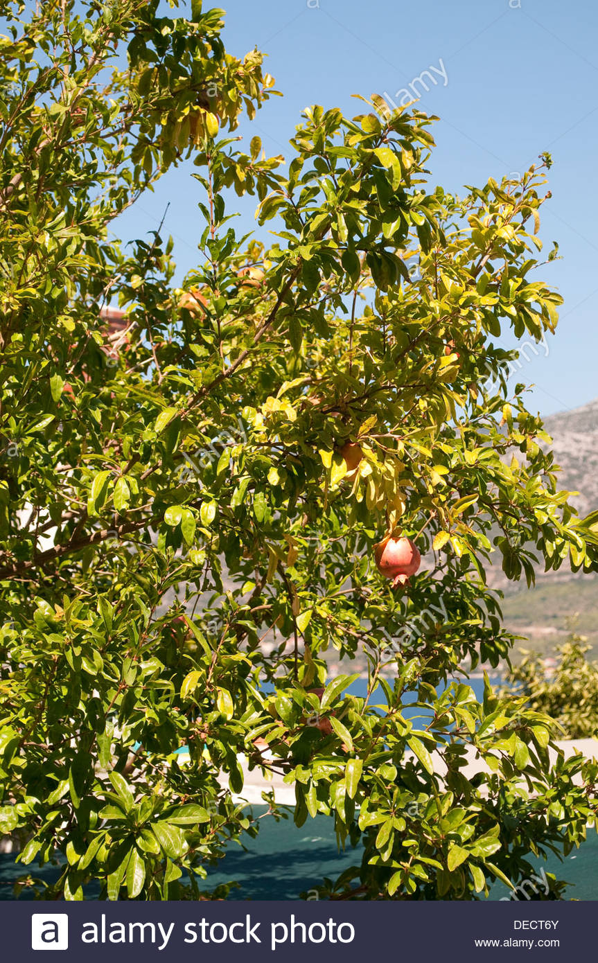 Pomegranate tree, Korcula, Croatia - Stock Image
