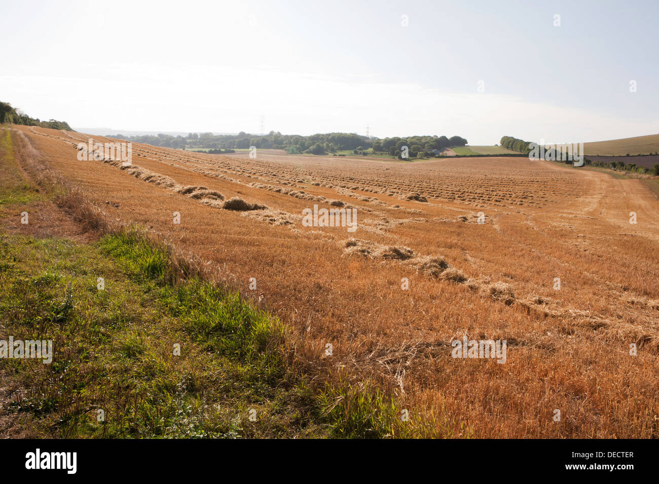 Empty harvested field, piles of straw await being baled up into bales. - Stock Image