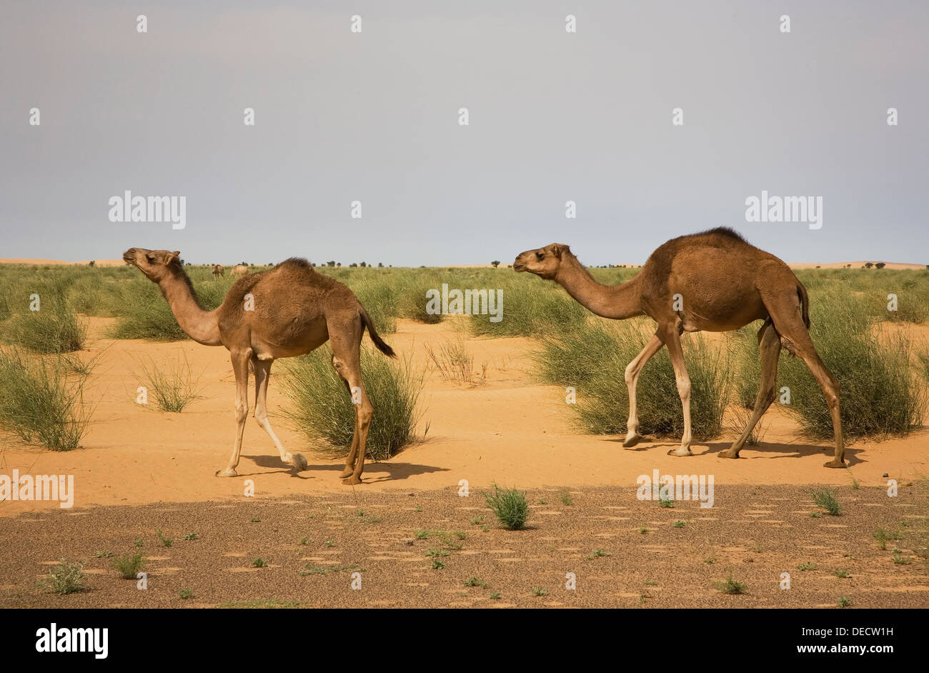 Dromedary camels in grass grazing area in desert of Western Sahara after recent rare rainfall, Mauritania - Stock Image