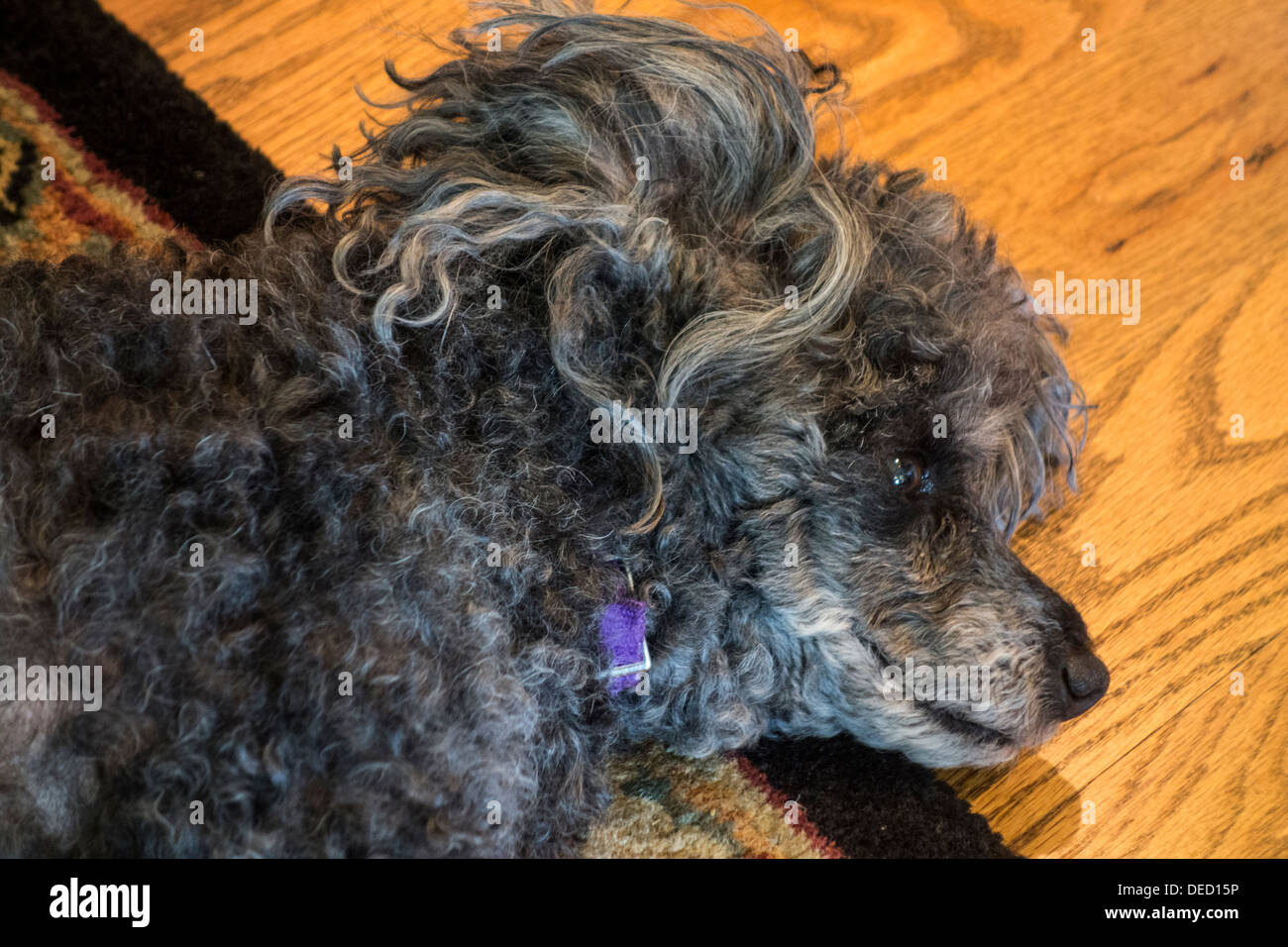 An old dog, a once black female poodle, nearing the end of her life, takes a nap on the floor. - Stock Image