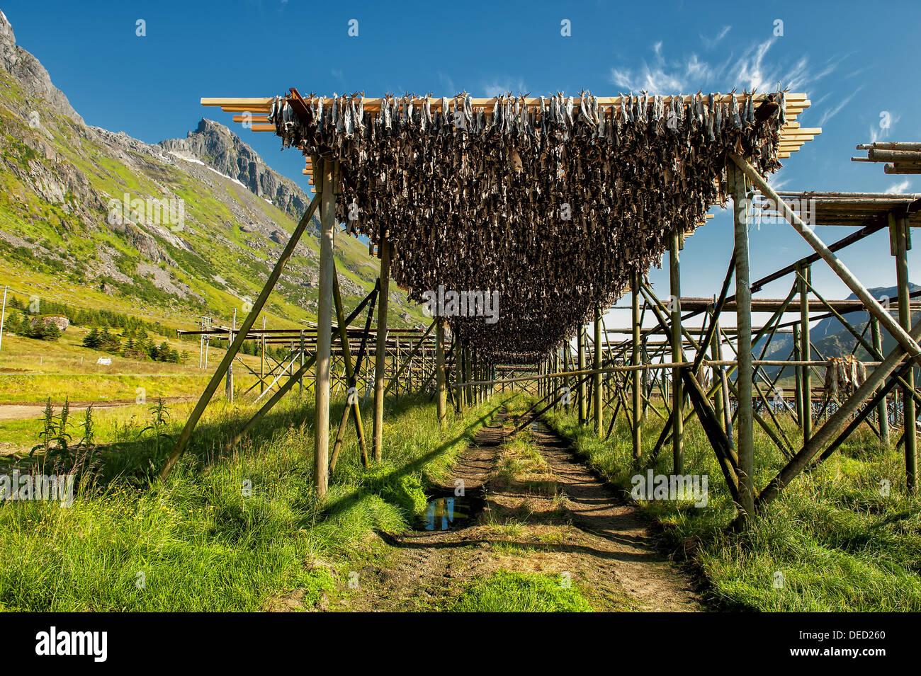Stockfish drying at Lofoten in northern Norway - Stock Image