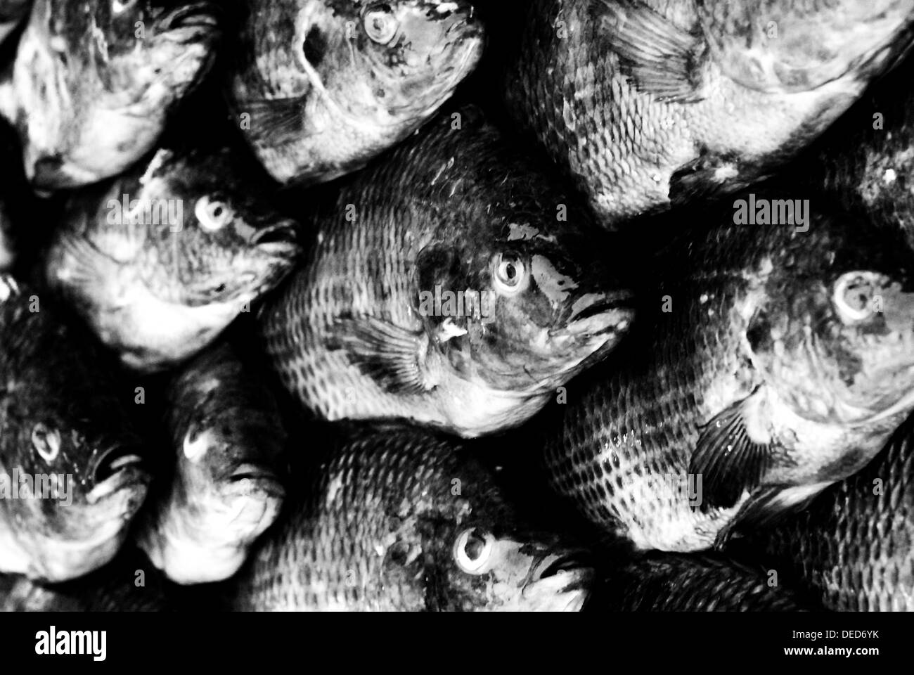 Black and White shot of several fish at a market in Laos - Stock Image