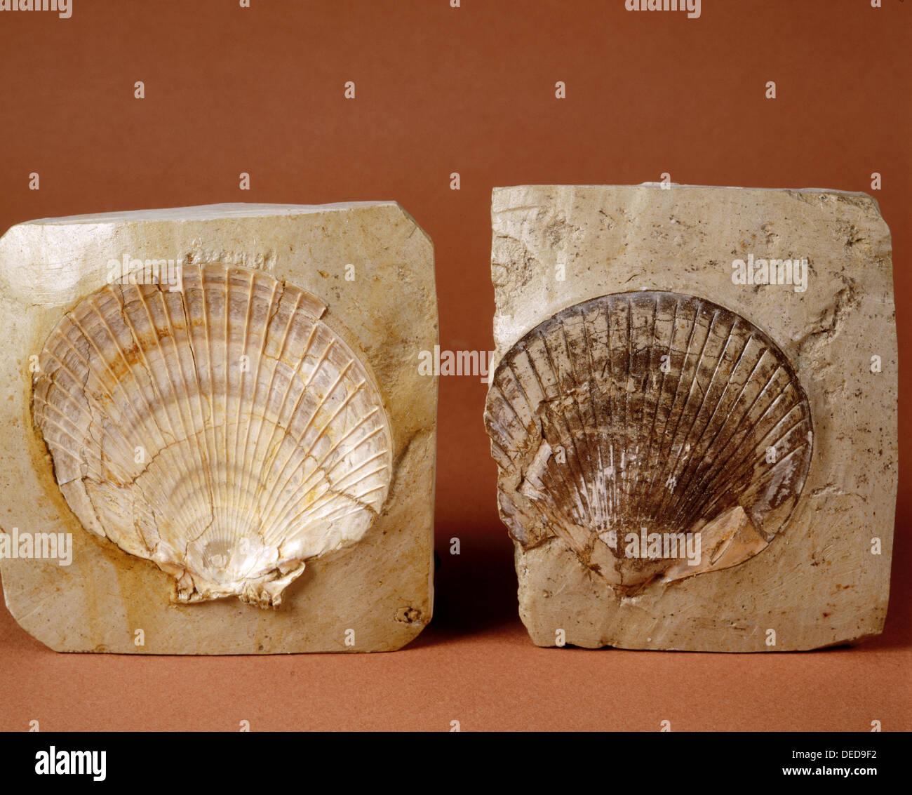 Bivalve fossils. Amussium Cristatum. (5,5 cm) Pliocene. Barcelona. Spain. - Stock Image
