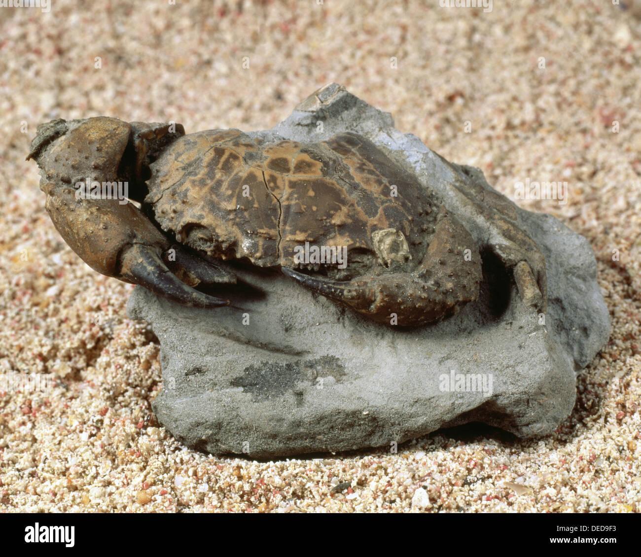 Eriphia cochii fossil (10cm long). Pliocene. Italy. - Stock Image
