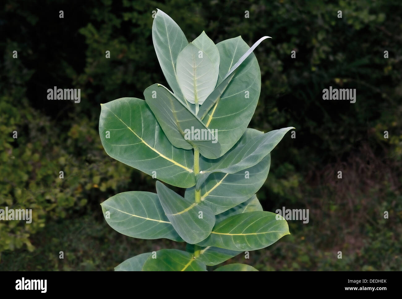 Brazil, Pantanal: Medical plant popularly called 'Angelica do Campo' - Stock Image
