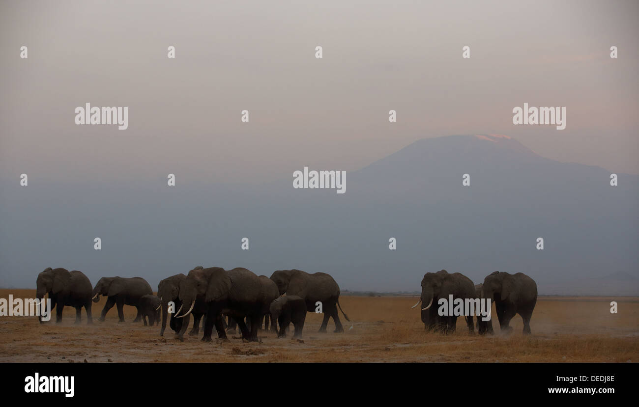 Herd of African Elephants (Loxodonta africana) against backdrop of Mount Kilimanjaro in Amboseli National Park in Kenya - Stock Image