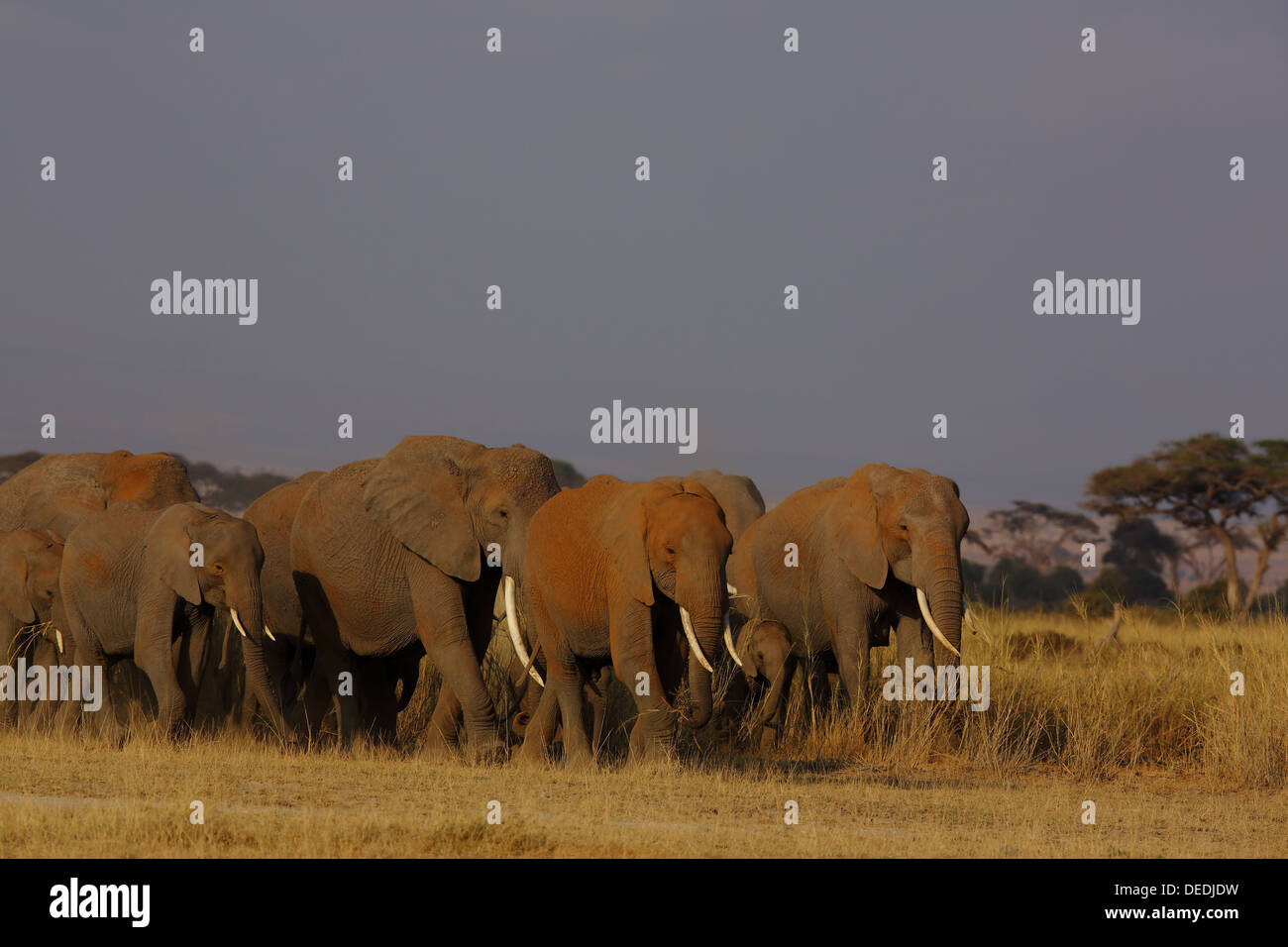 Herd of African Elephants (Loxodonta africana) in Amboseli National Park in Kenya - Stock Image