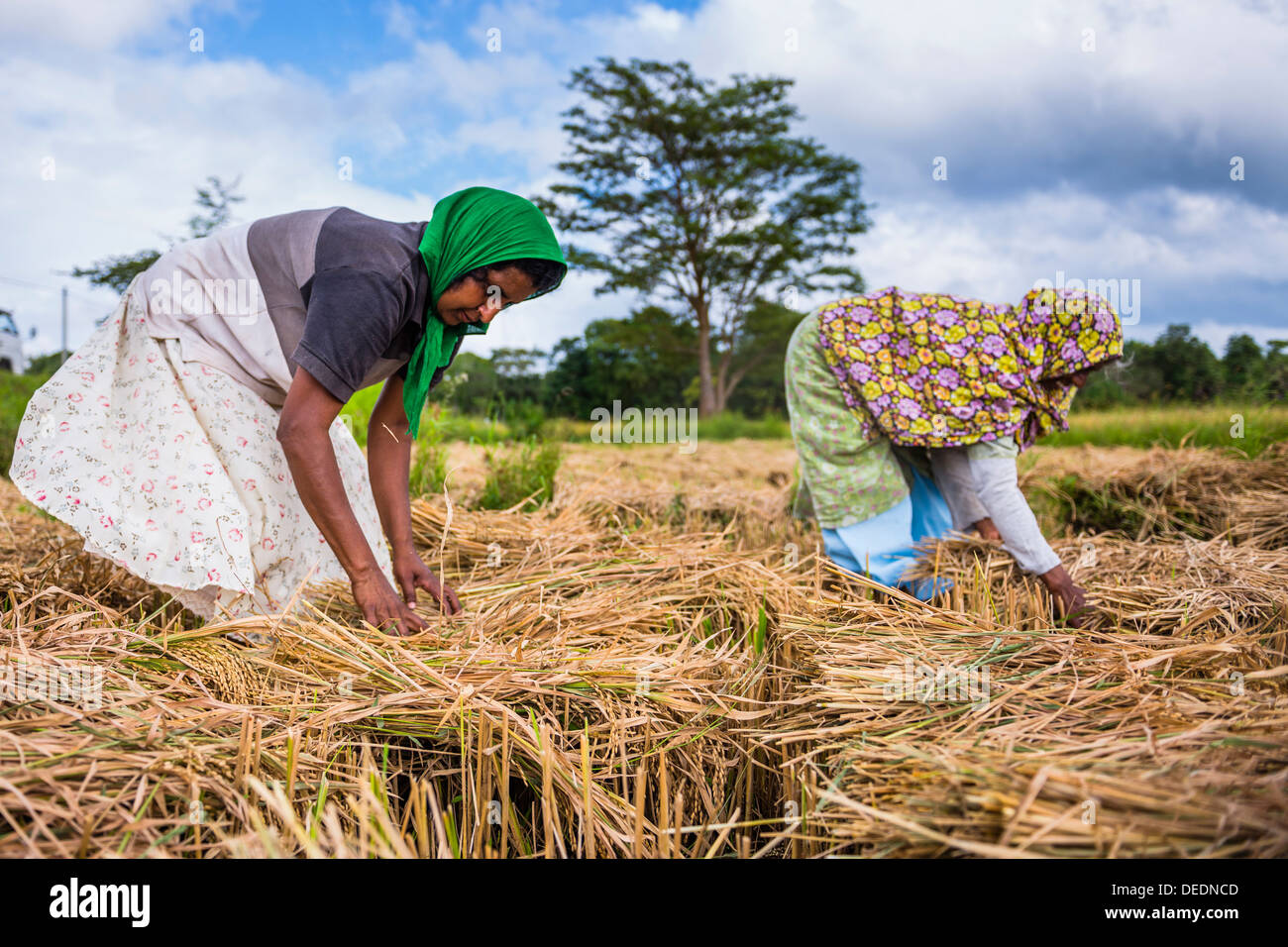 Sri Lankan women working in a wheat field just outside Dambulla, Central Province, Sri Lanka, Asia - Stock Image
