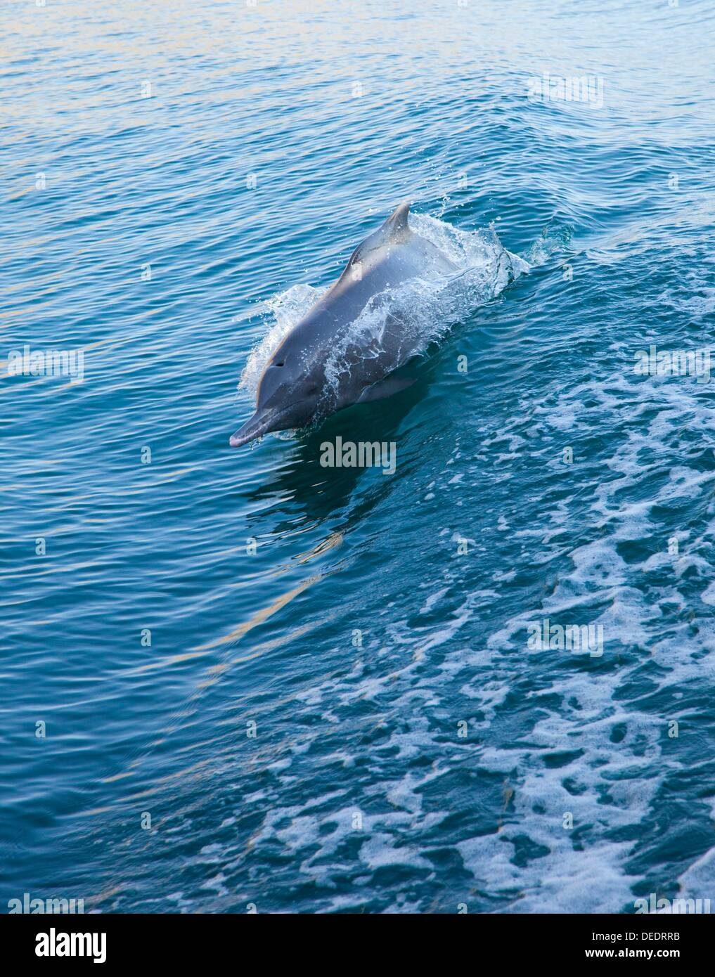 Indo - Pacific Humpbacked Dolphin. Sousa chinensis. Musandam Peninsula. Oman. Persian Gulf. Arabia. Middle East - Stock Image
