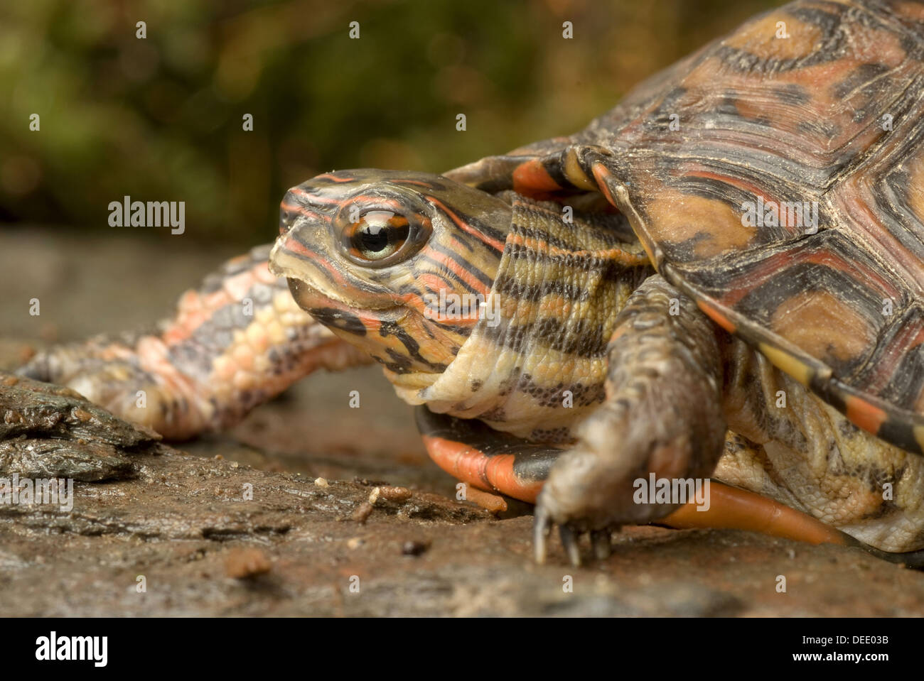 Costa Rica Ornate wood turtle, Rhinoclemmys pulcherrima manni - Stock Image