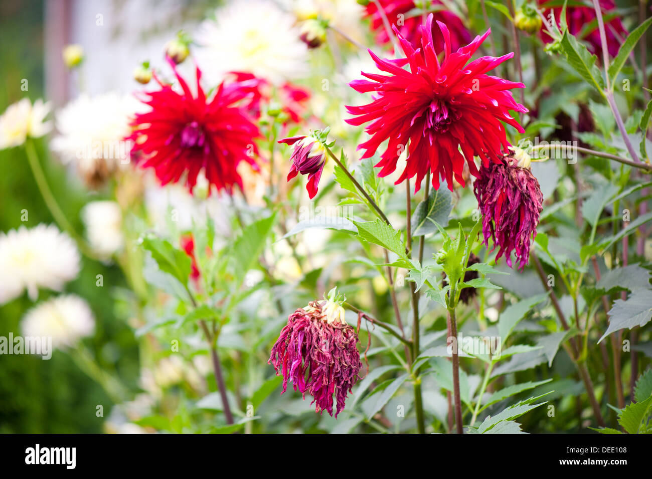 Wilted dahlia flower stock photos wilted dahlia flower stock fading flowerheads of red dahlia blooming stock image izmirmasajfo