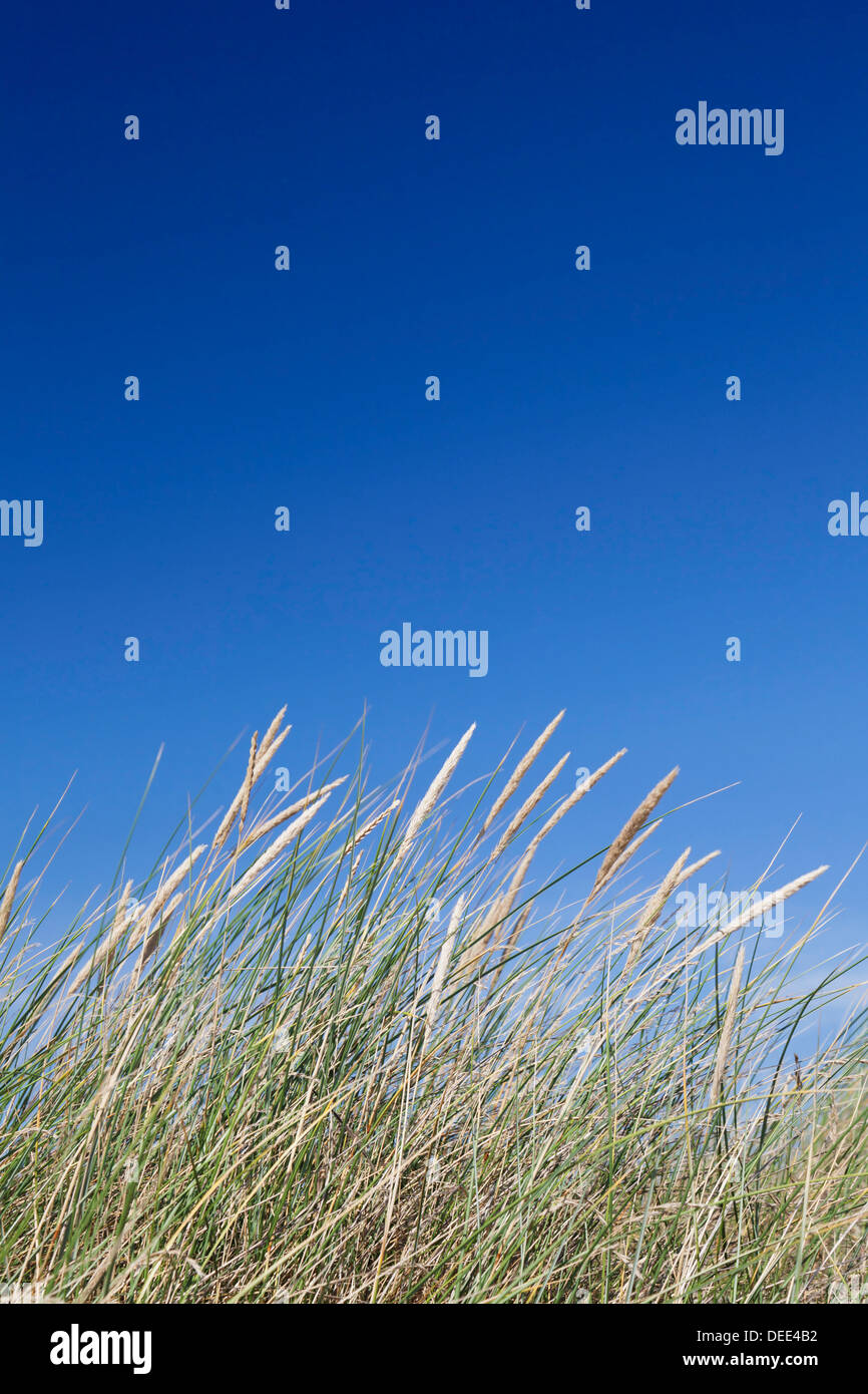 Grass and blue sky, Sylt Island, Schleswig Holstein, Germany, Europe - Stock Image