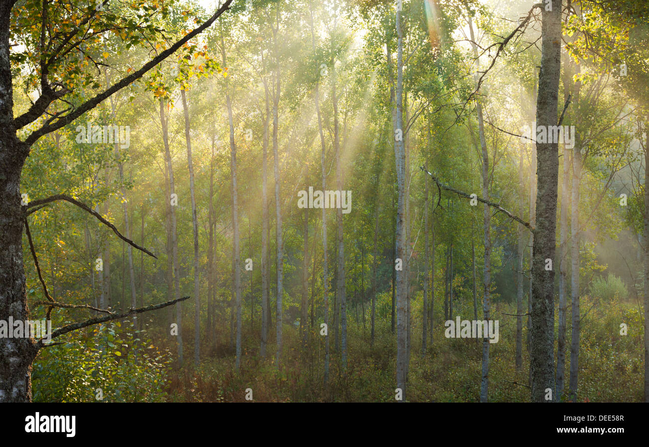 foggy morning - sunshine coming in visible rays through morning mist - Stock Image
