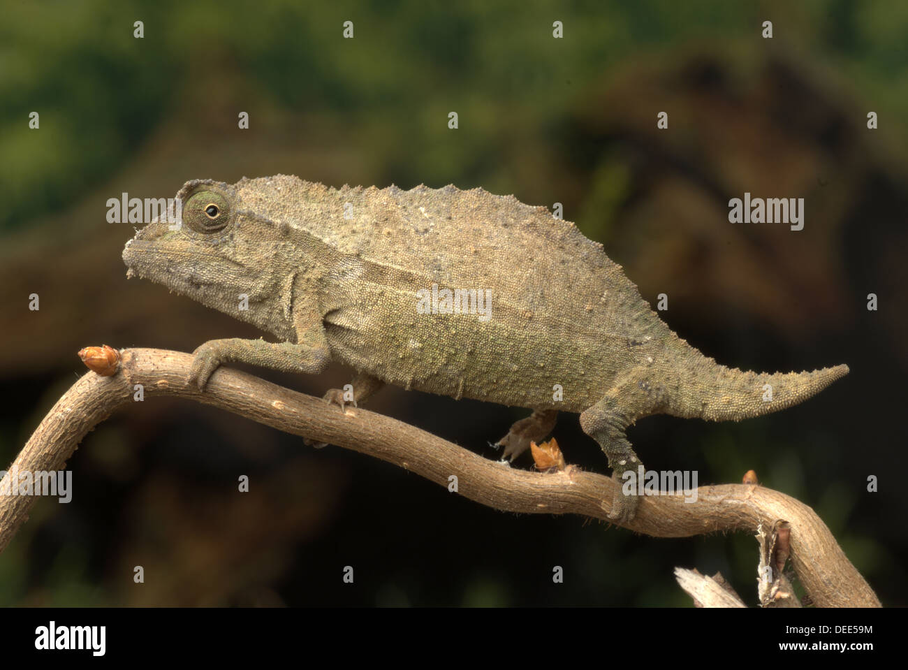 Pygmy Stump Tailed Chameleon Stock Photos Pygmy Stump Tailed
