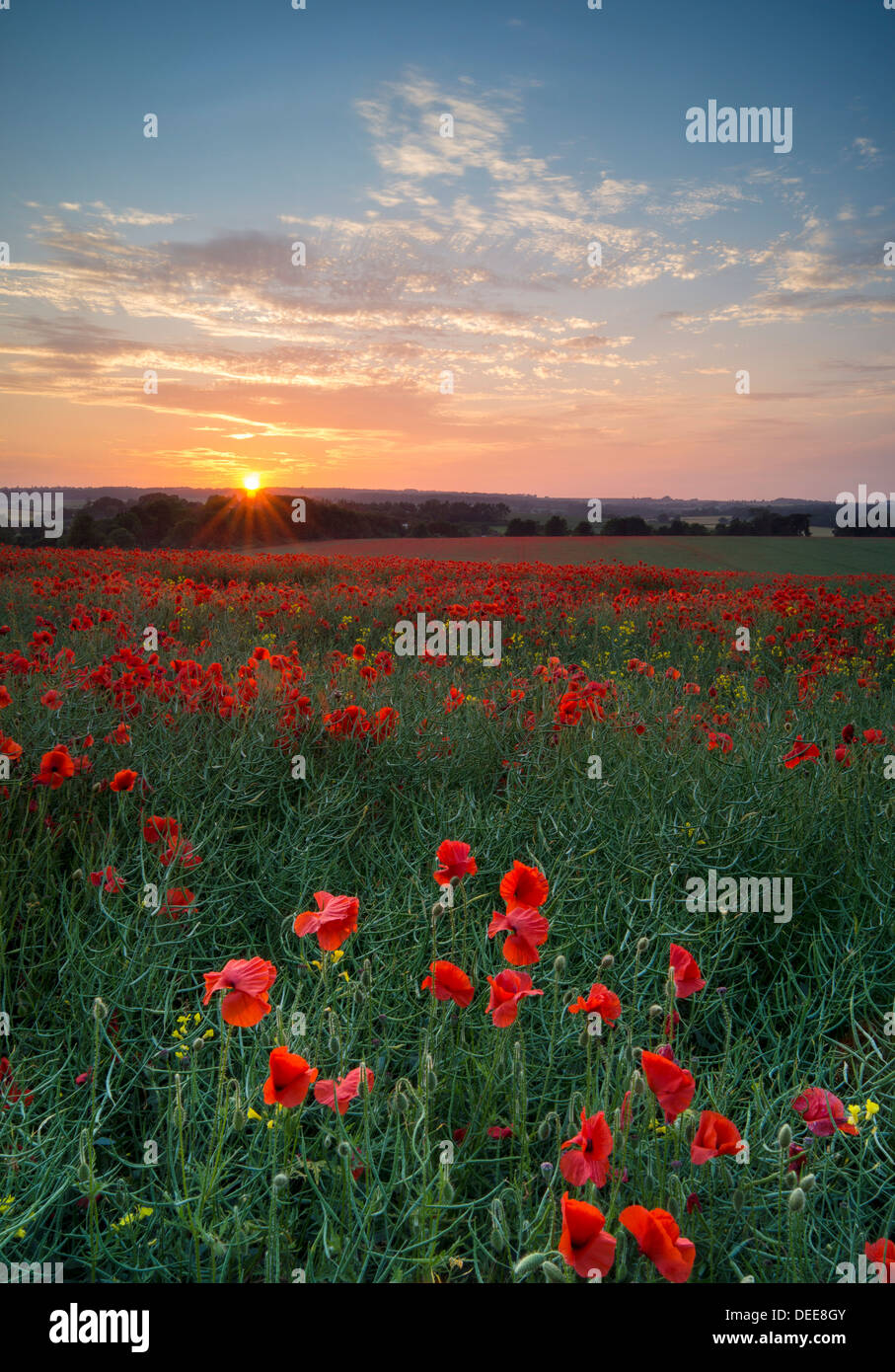 Poppies at sunset in an English field. 'At the going down of the sun and in the morning We will remember them.' - Stock Image
