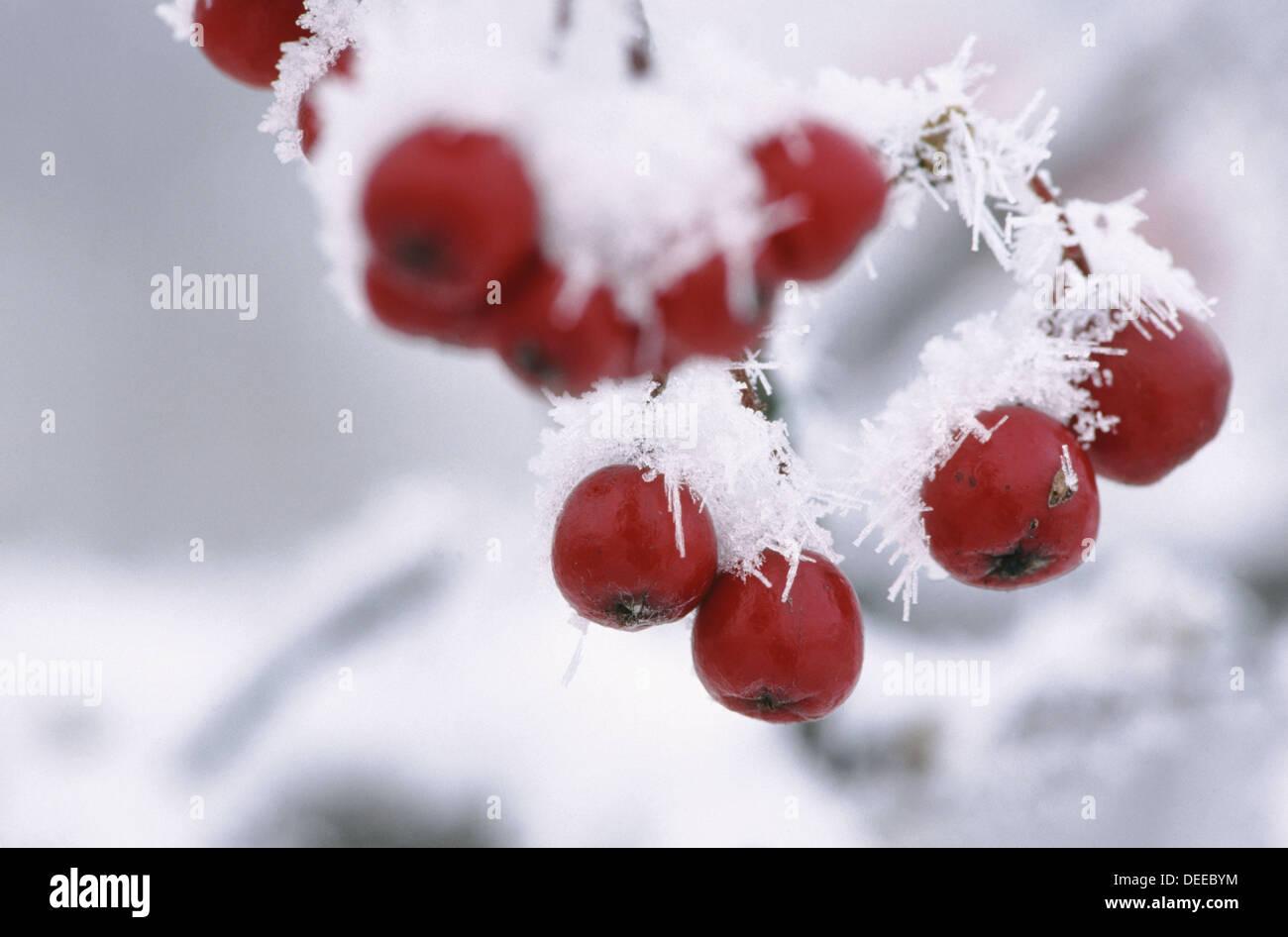 Fruits of European Mountain Ash (Sorbus aucuparia). Bavaria. Germany Stock Photo