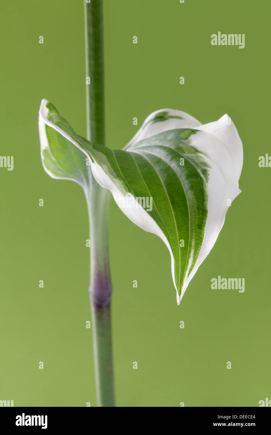 Single Hosta leaf on stem - Stock Image