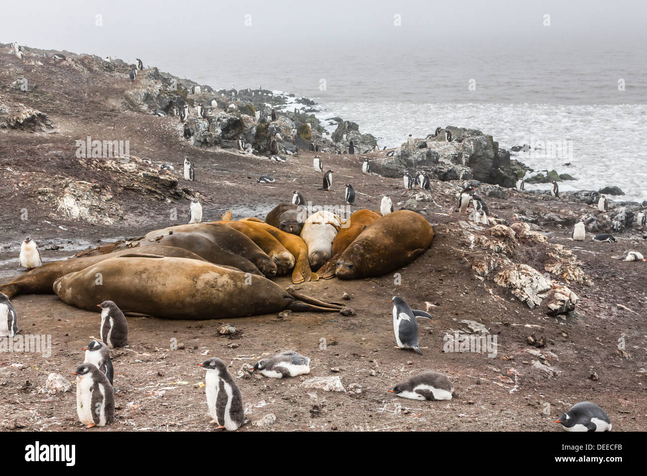 Southern elephant seals, annual catastrophic molt, Hannah Point, Livingston Island, South Shetland Islands, Antarctica - Stock Image