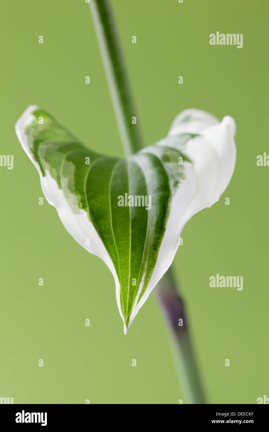 Single Hosta leaf on stem - Stock Image