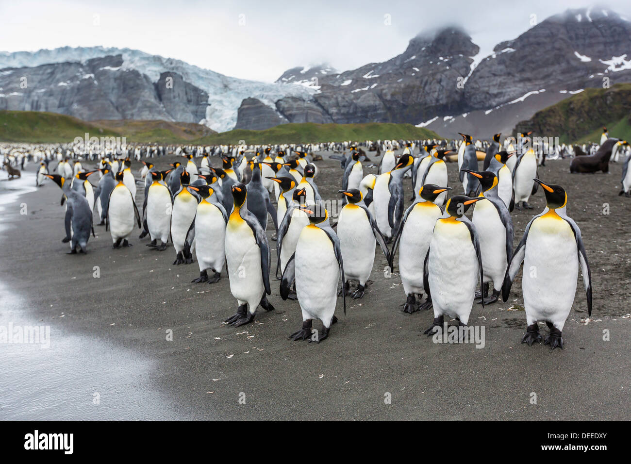 King penguins (Aptenodytes patagonicus) breeding and nesting colony at Gold Harbour, South Georgia, South Atlantic Stock Photo