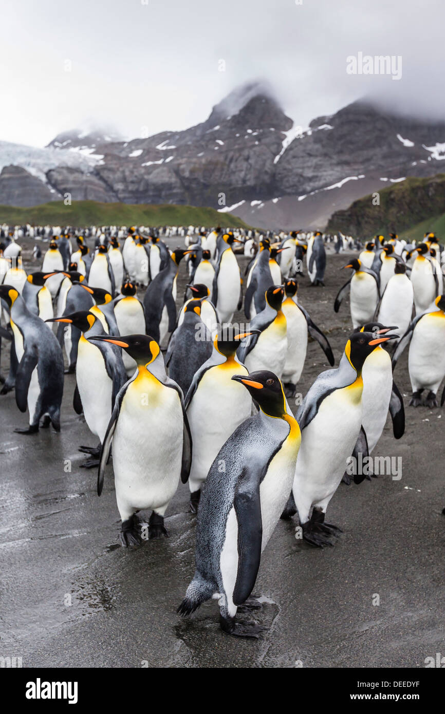 King penguins (Aptenodytes patagonicus) breeding and nesting colony at Gold Harbour, South Georgia, South Atlantic Ocean - Stock Image
