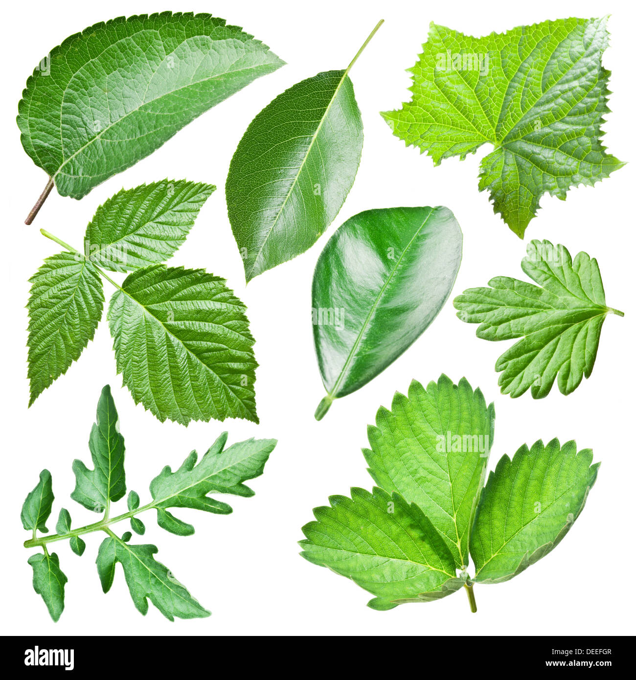 Green leaves collection isolated on a white background. - Stock Image