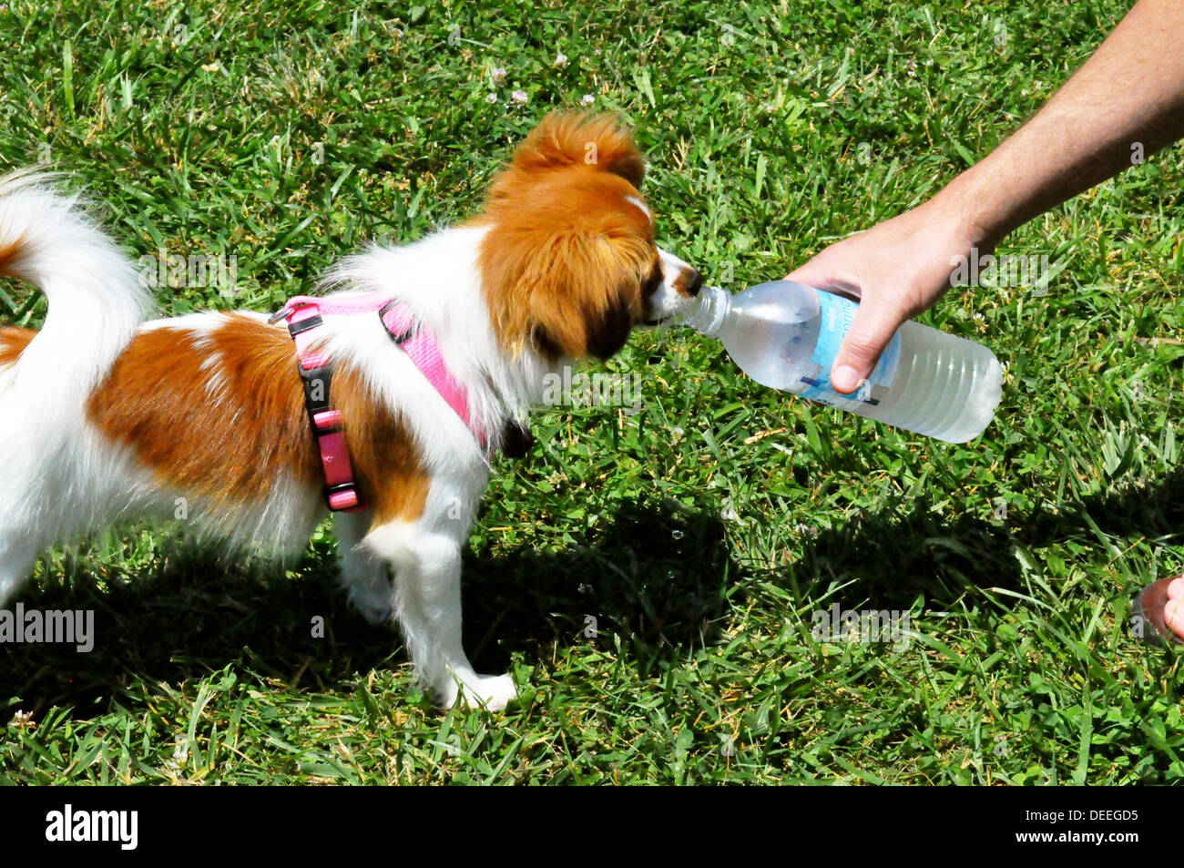 Doggie drinking water - Stock Image