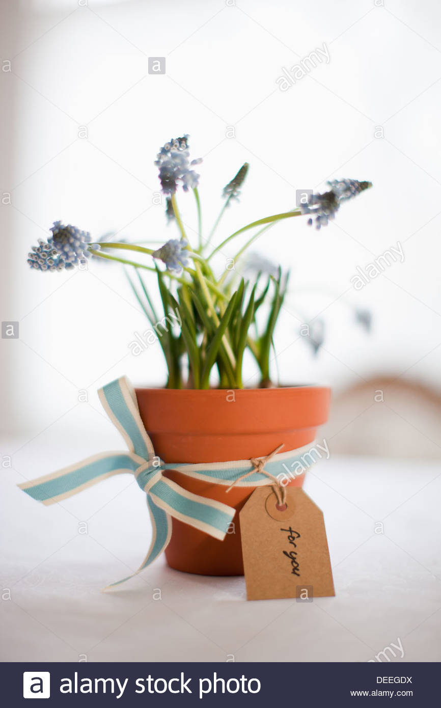 Potted grape hyacinth flowers with ribbon and gift tag - Stock Image
