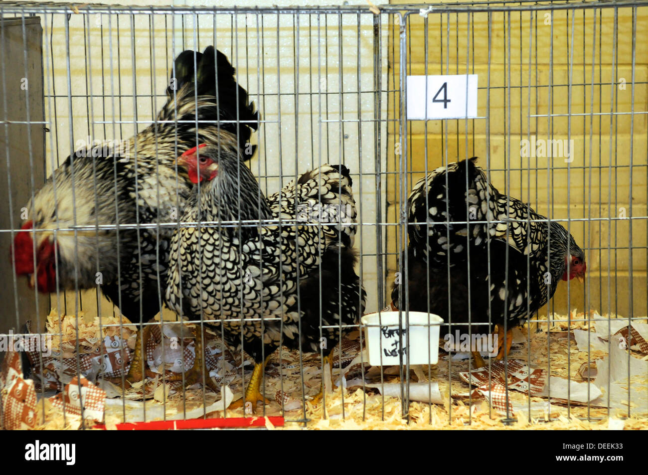 Hens at the Bath & West Show, Somerset, UK - Stock Image
