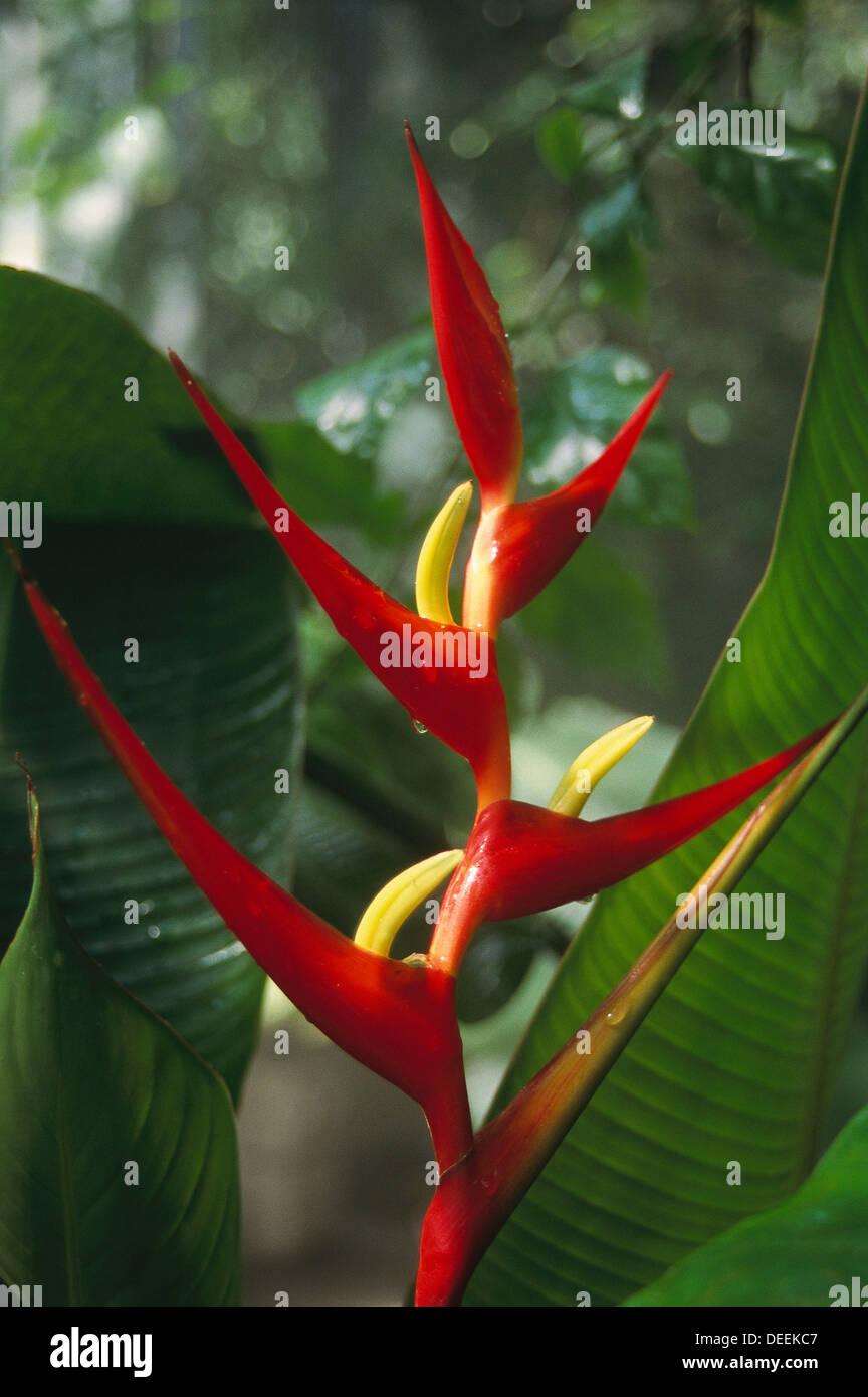 Heliconia latispatha. Costa Rica - Stock Image