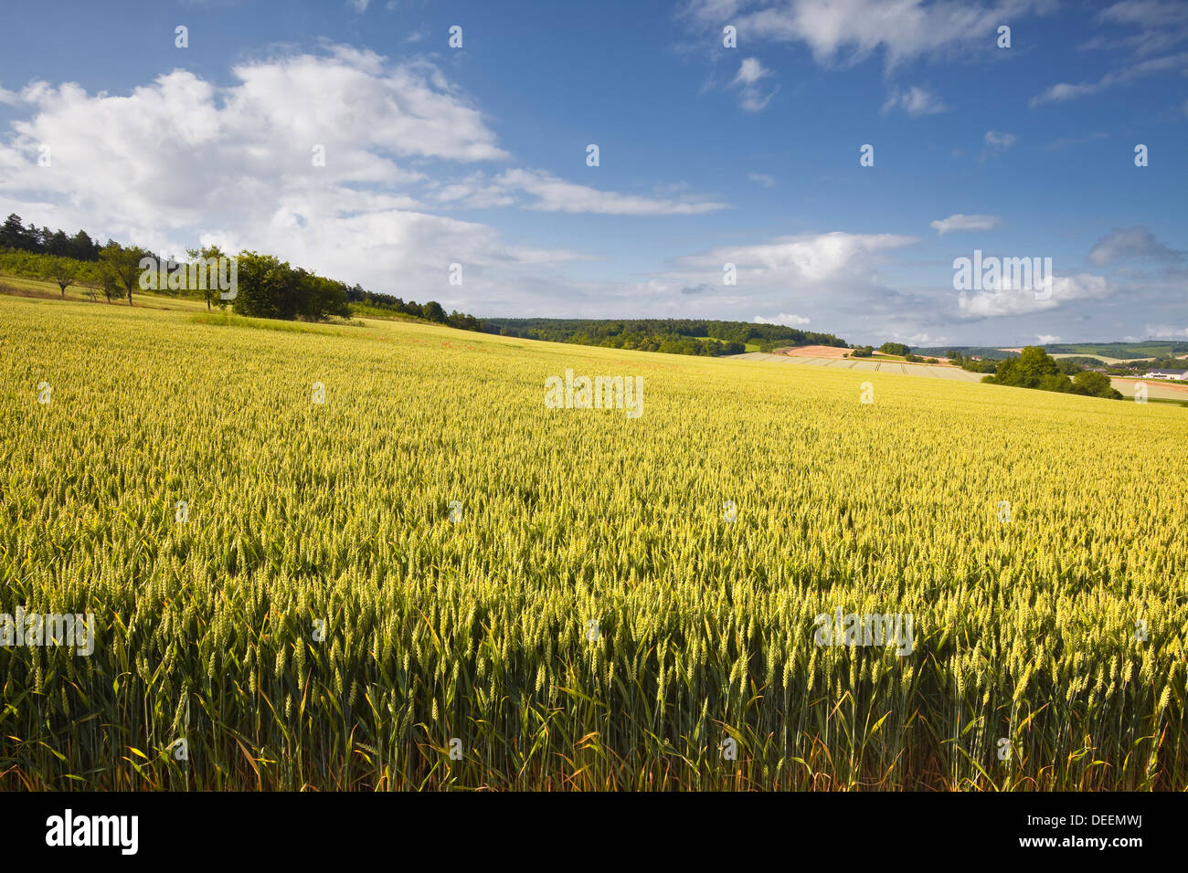 A wheat field in the Champagne area, France, Europe - Stock Image