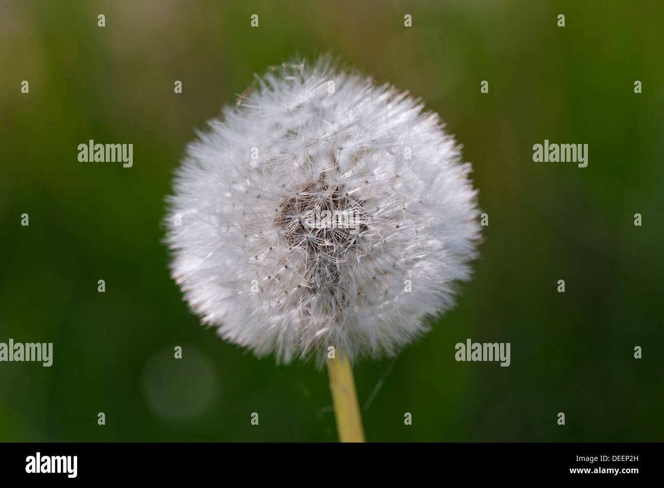Common Dandelion (Taraxacum officinale) seedhead / seed head in meadow in spring - Stock Image