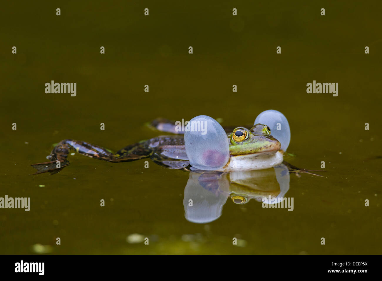 European edible frog (Pelophylax kl. esculentus / Rana kl. esculenta) croaking by inflating vocal sacs in water of pond - Stock Image