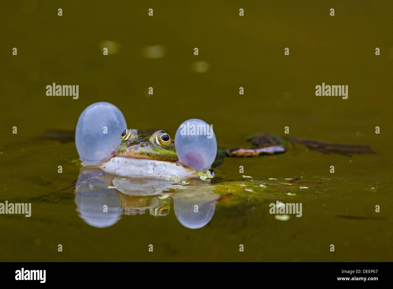 European edible frog (Pelophylax kl. esculentus / Rana kl. esculenta) croaking by inflating vocal sacs while floating in pond - Stock Image