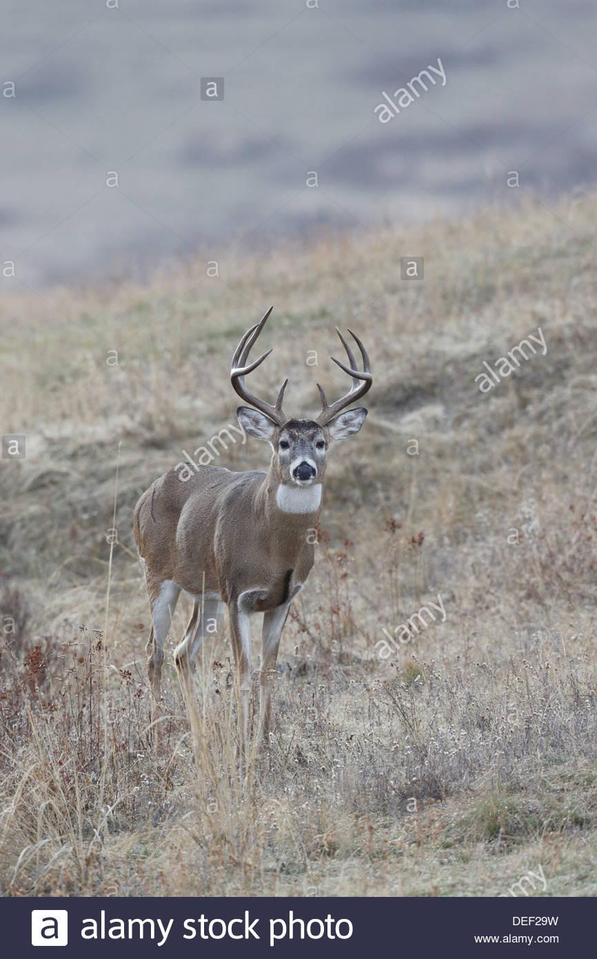 White-tailed Deer; Odocoileus virginianus - Stock Image
