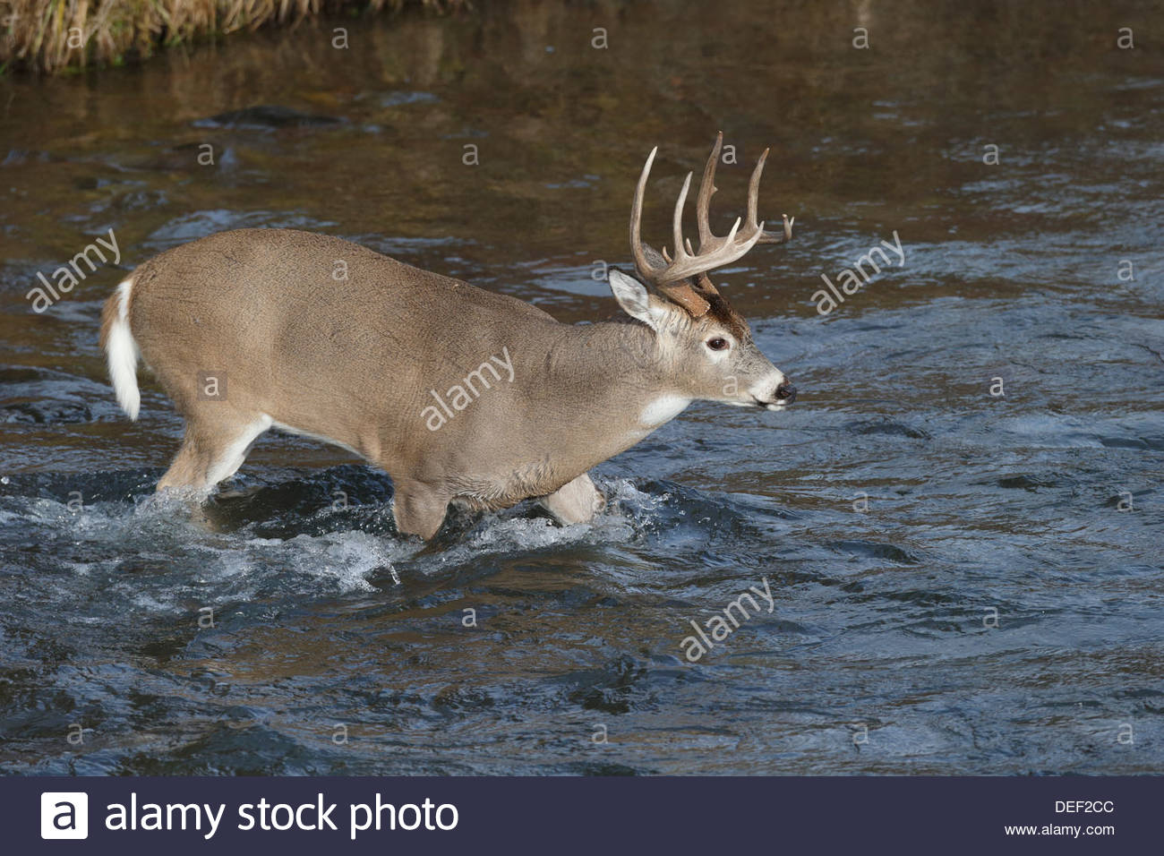 White-tailed Deer; Odocoileus virginianus - Stock Image