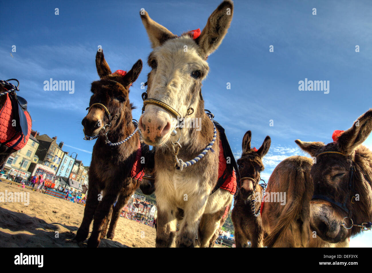 Donkeys on the beach at Scarborough - Stock Image
